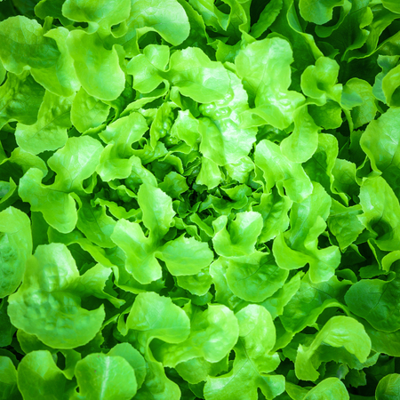 close up Green oak lettuce leaves background Stock Photo