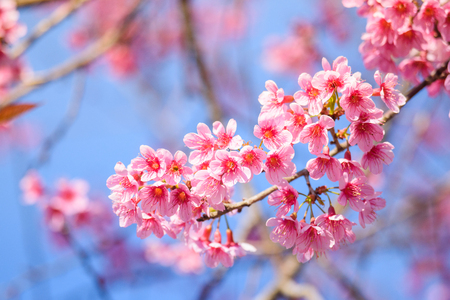 Soft focus Pink Cherry Blossom or Sakura flower with blue sky on nature background
