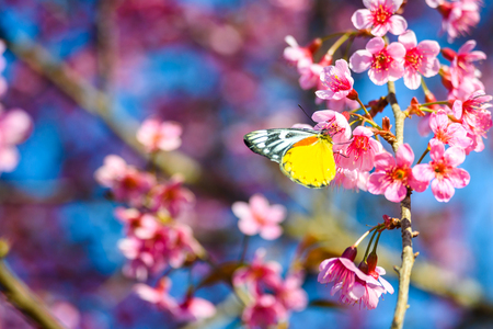 Yellow butterfly on Sakura flower with blue sky , nature background Stock Photo