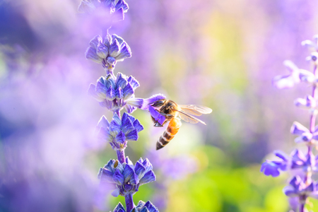 Bumblebee on lavender blossoms in warming sunrise