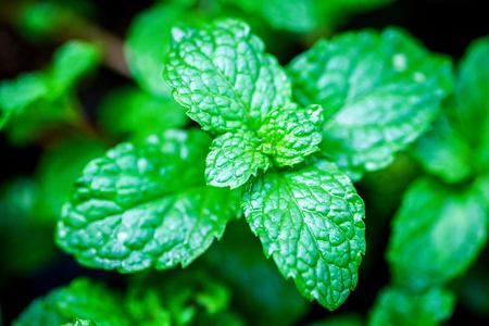 close up Green peppermint leaves