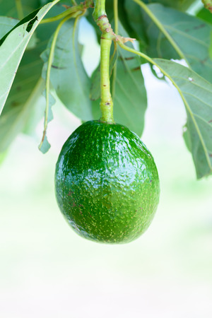Close up Green fresh Avocado on the tree
