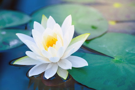 Beautiful White Lotus Flower with Green leaf in in blue pond