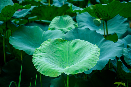 Green Lotus leaves in dark background