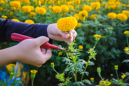 Agriculturist use Secateurs cut Yellow Marigold Flowers in the garden