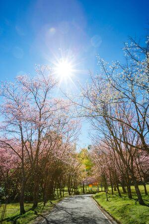 Spring Cherry Blossom Path through a beautiful road in sunny day with clear blue and sun ray