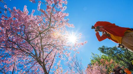 tourist take photos under pink cherry blossoms tree with clear blue sky in sunny day Stock fotó