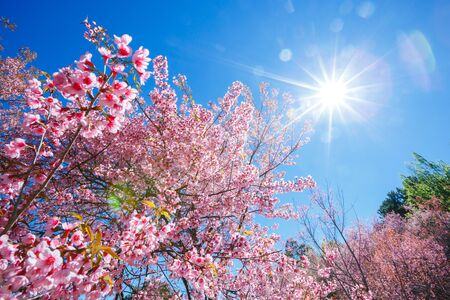 Spring Pink Cherry Blossom tree in sunny day with sun ray ,Sakura flower blooming in blue sky Stock fotó