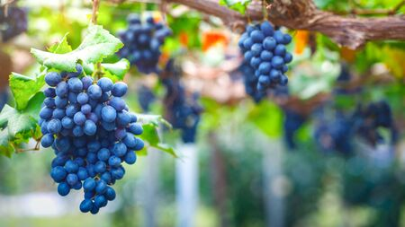 Close-up of bunches of ripe red grapes on vine