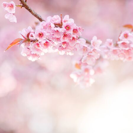 Beautiful Pink Cherry Blossom or Sakura flower blooming in blue sky on nature background , Soft focus