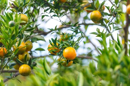 ripe fresh oranges hanging on tree in orange orchard 스톡 콘텐츠