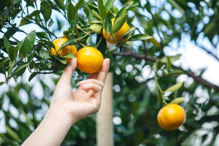 woman hand picking an ripe orange on tree Stock fotó