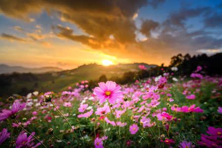 mountain landscape of cosmos flowers garden field in sunset sky