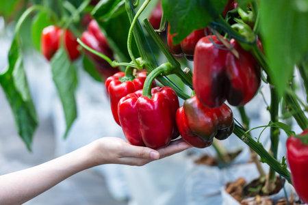 woman hand picking ripe red bell pepper plantation in farm garden