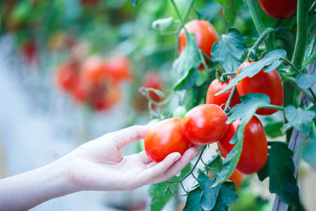 woman hand picking ripe red tomatoes in green house farm