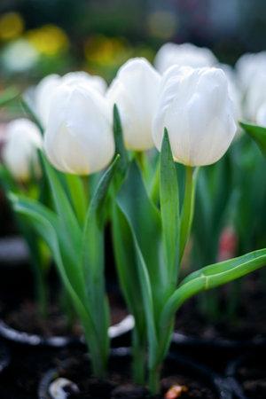 Beautiful white tulips flower in green house garden