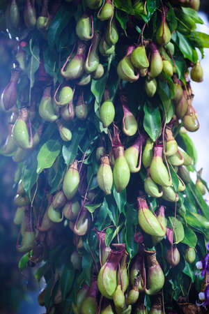 Tropical Nepenthes or pitcher plants on tree in rainforest  , Exotic flower plant
