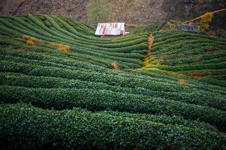 Terrace Tea Plantation , Chiang mai , Thailand Stock Photo