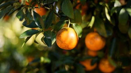 ripe fresh oranges hanging on tree in orange orchard Stock Photo
