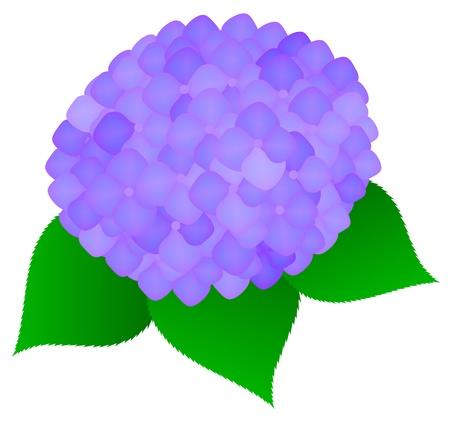 hydrangea macrophylla Иллюстрация