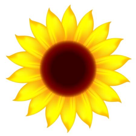 sunflower Stock Vector - 13171028