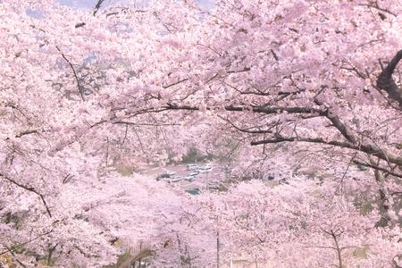 fleur de cerisier: cerise