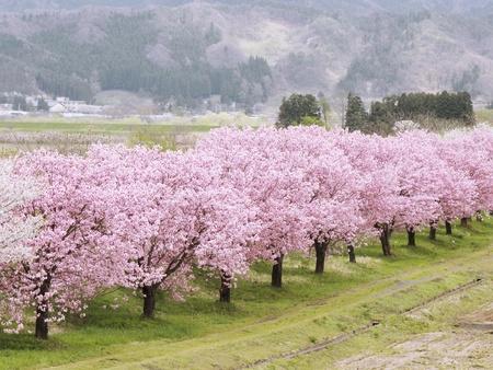 flowering in plants: cherry tree Stock Photo