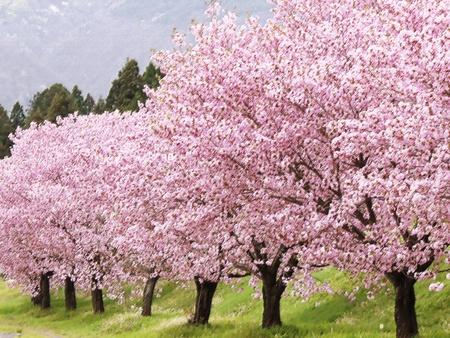 flowering  plant: cherry tree Stock Photo