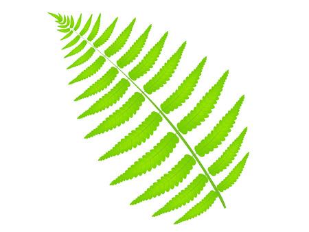 fern leaf: Fern leaf plant