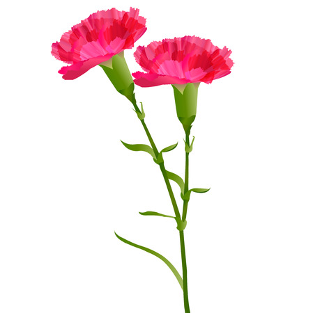 Carnation Mother \ 's Day flowers