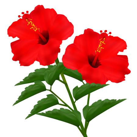 hibisco: Hibiscus flor de verano Vectores