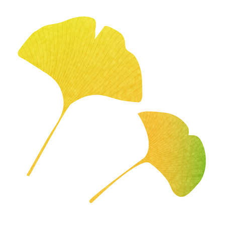 ginkgo: Ginkgo autumn leaves fall icon Illustration