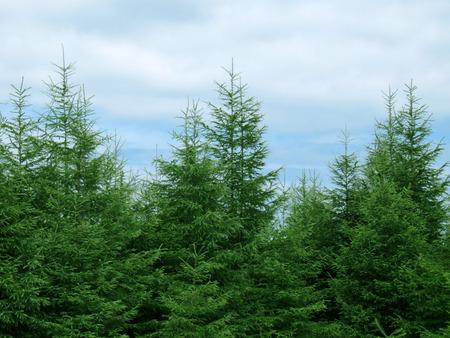 Fir tree Christmas landscape background 写真素材