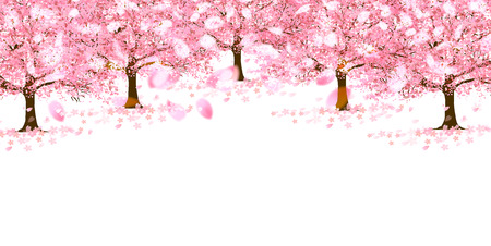 Cherry Blossoms spring flower with petals falling.