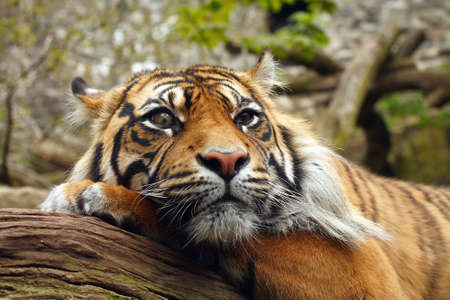 Amur or Siberian Tiger at rest. photo