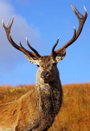 Wild Red Deer Stag in the Highlands of Scotland. Stock Photo - 8256275