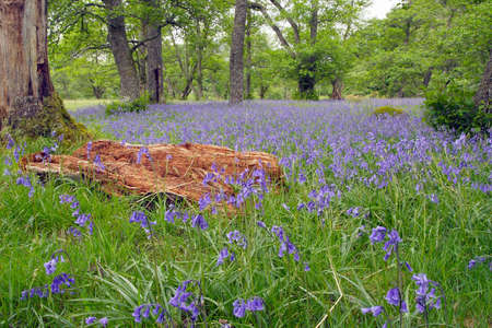bluebell woods: Bluebell woods in the Scottish Highlands.
