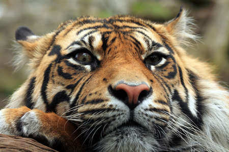 the amur: Amur or Siberian Tiger. Stock Photo