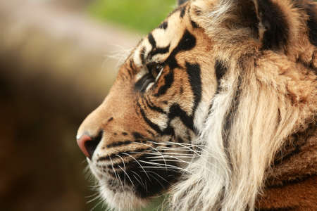 amur: Amur or Siberian Tiger. Stock Photo