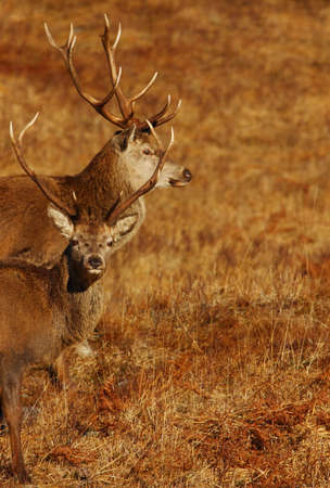 Wild Red Deer Stags in winter   photo