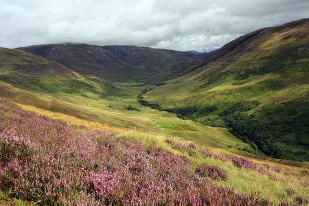 highlands: Purple Heather in the Scottish Highlands