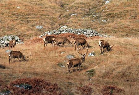 loch: Wild Stags in December
