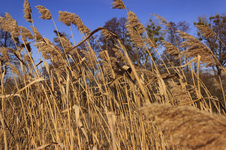 reed stem: Rural landscape with dry reed on a background of blue sky