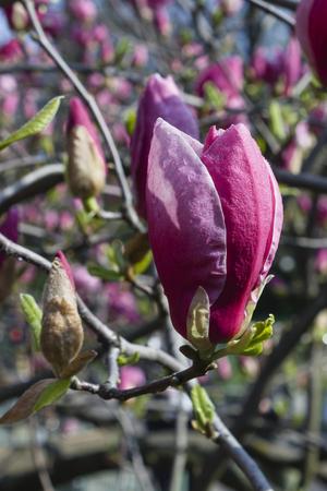magnolia soulangeana: In the garden of pink flowers in bloom Magnolia Soulangeana Stock Photo