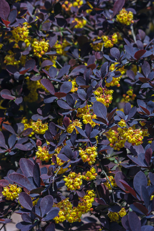 barberry: yellow flowers barberry against the dark leaves Stock Photo