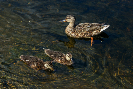 Duck swims with ducklings