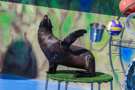 seal performs in the dolphinarium