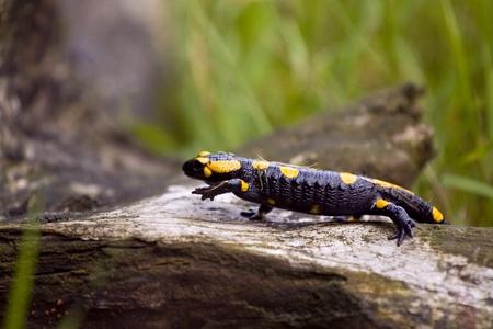 Beautyful european fire salamander  Polish fauna  Stock Photo