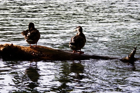 Silhouette of ducks on Plitvice lakes in Croatia  Wildlife in national park  photo
