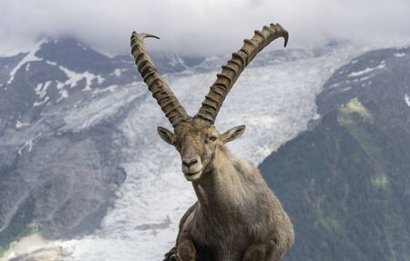Alpine ibex on a background of mountains. French Alps.
